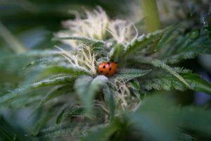 trichomes pot zero organic cannabis