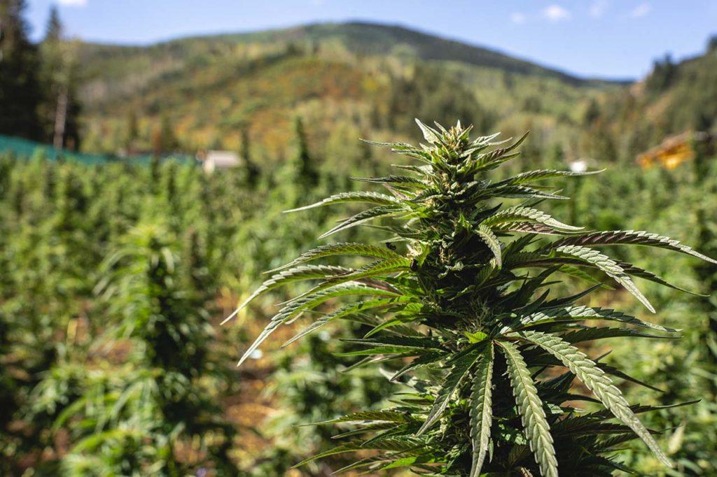 marijuana strain pomegranate