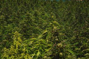 marijuana terpenes cultivar alpha pinene